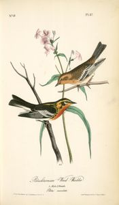 John James Audubon - Blackburnia Wood-Warbler. 1. Male, 2. Female.