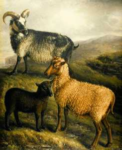 William Shiels - Orkney and Shetland Sheep